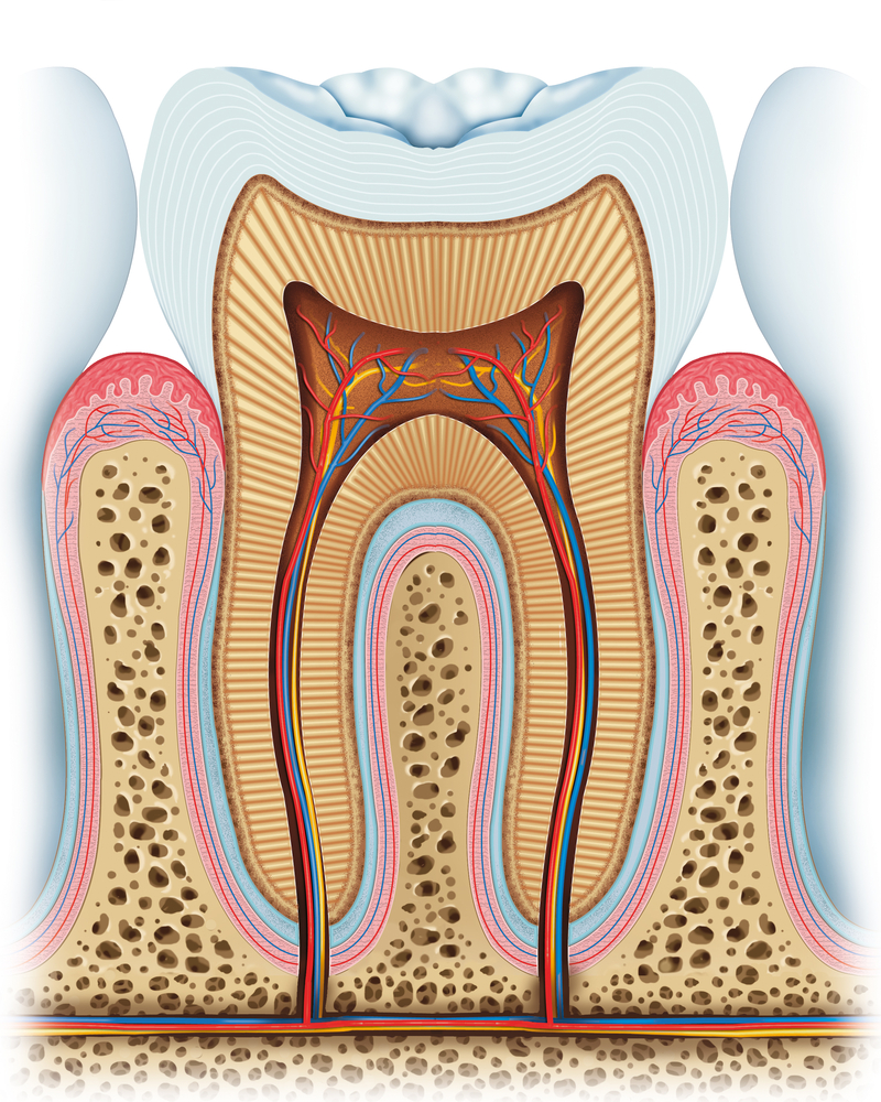 Illustration of the 3 layers of a healthy tooth sitting in the gums, showing roots and nerves
